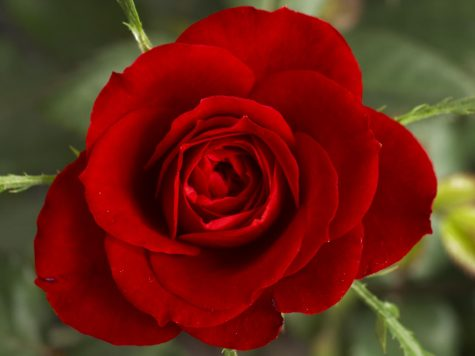 An image of a rose. A symbol of the rose Peter gives to the women who has won his heart.